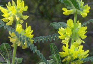 Kalp, Damar, Böbrek ve Karaciğer Üzerine Astragalus Kökünün Faydaları Nelerdir?