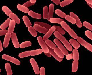 Bacillus Subtilis Nasıl Bir Probiyotik?