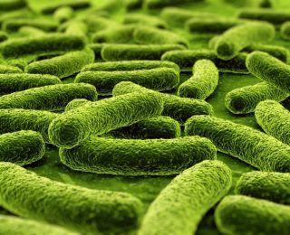 Lactobacillus Paracasei Nasıl Bir Probiyotiktir?