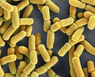 Lactobacillus plantarum Nasıl Bir Probiyotiktir?