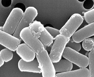 Lactobacillus brevis Nasıl Bir Probiyotiktir?