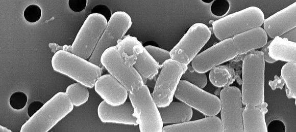 Lactobacillus brevis nedir?