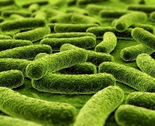 Lactobacillus rhamnosus Nasıl Bir Probiyotiktir?