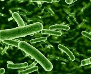 Lactobacillus Salivarius Nasıl Bir Probiyotiktir?