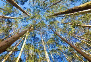 Ökaliptus Yağının Faydaları Nelerdir?