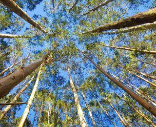 Ökaliptus Yağı Nedir ve Faydaları Nelerdir?