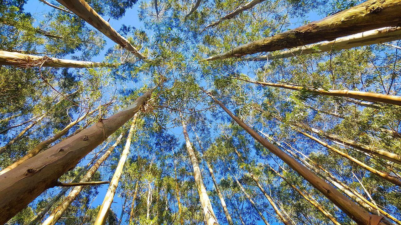 Okaliptus Yagının Faydaları