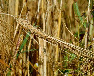 Tam Tahıl Nedir? Faydaları Nelerdir?