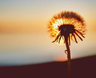 Mucizevi Prebiyotik Hindiba Kökü Lifi Nedir?