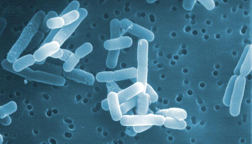 Lactobacillus Reuteri Nasıl Bir Probiyotiktir?