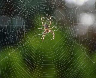 Kara Dul Örümcek Zehri Zehirlenmesinden Kaynaklanan Zehirlenmeler (Kara Dul Örümcek Isırıkları)